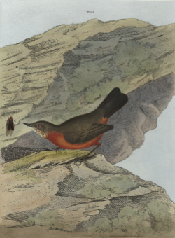 Image of a rock warbler, 1822.